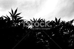 Cananbis garden silhouette