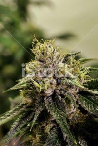 Purple Frosty Marijuana Bud