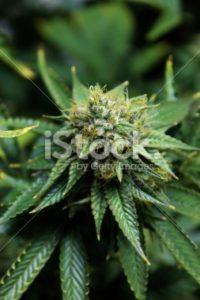 Mature Marijuana Flower