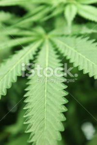 Cannabis leaf vertical shot