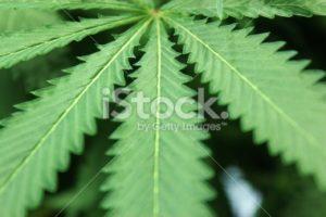 Marijuana leaf horizontal
