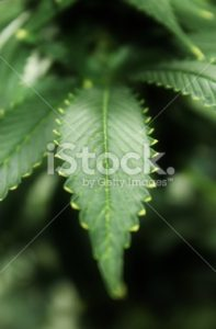 Cannabis leaf alone in the garden